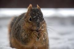 Una ardilla que come en la nieve Imagen de archivo