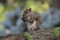 Una ardilla que come una nuez en un árbol Foto de archivo libre de regalías