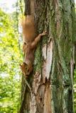 Una ardilla roja en un ?rbol en el bosque come una nuez, abrochando sus manos detr?s de un ?rbol verticalmente imágenes de archivo libres de regalías