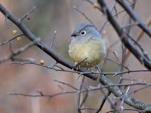 Una ave migratoria gorda Imágenes de archivo libres de regalías