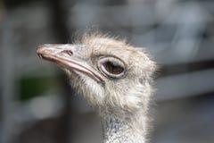 Una avestruz Fotografía de archivo libre de regalías