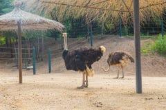 Una avestruz Fotos de archivo libres de regalías