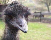 Una avestruz con mirada curiosa Fotos de archivo