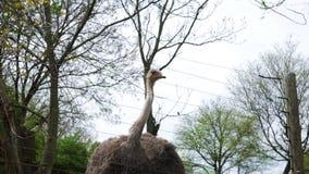 Una avestruz detrás de una cerca segura mira la cámara almacen de metraje de vídeo