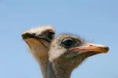 Una avestruz dirige Imagen de archivo libre de regalías