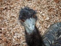 una avestruz el mirar fijamente en otoño fotografía de archivo libre de regalías