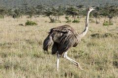 Una avestruz femenina hermosa, conservación del pejeta de Ol, Kenia Fotografía de archivo libre de regalías