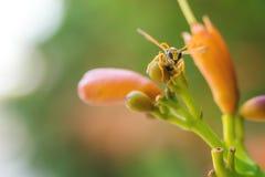 Una avispa en una flor anaranjada, sobre fondo de la falta de definición Fotografía de archivo libre de regalías