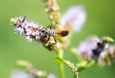 Una avispa negra en una flor en naturaleza Imagenes de archivo