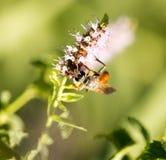 Una avispa negra en una flor en naturaleza Fotografía de archivo libre de regalías