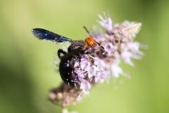 Una avispa negra en una flor en naturaleza Foto de archivo libre de regalías