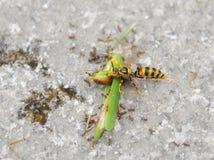 Una avispa y hormigas que comen el saltamontes Imagen de archivo