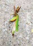 Una avispa y hormigas que comen el saltamontes Foto de archivo libre de regalías