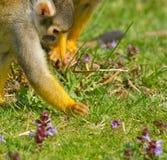 Una búsqueda del mono Foto de archivo libre de regalías