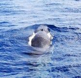 Una balena di aletta di immersione subacquea (physalus del Balaenoptera) Immagine Stock Libera da Diritti