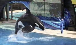 Una balena e un addestratore di assassino effettuano Immagine Stock Libera da Diritti