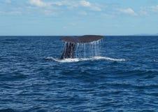 Una ballena de esperma que se zambulle de la costa de Nueva Zelanda Fotografía de archivo libre de regalías