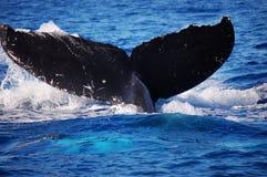 Una ballena de una cola en Maui imagen de archivo libre de regalías