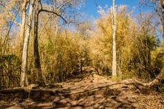 Una bambina che cammina il bambù dorato Fotografie Stock Libere da Diritti