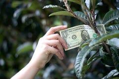 Una banconota in dollari sull'albero Fotografia Stock
