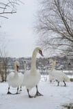 Una bandada de cisnes Uno se destaca Foco selectivo Foto de archivo