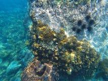 Una barriera corallina è un subacqueo con il pesce ed i ricci di mare fotografia stock