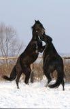 Una battaglia di due stallions Fotografie Stock Libere da Diritti