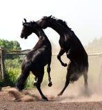 Una battaglia di due stallions Fotografie Stock