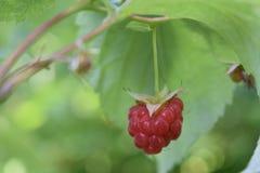 Una baya de frambuesas maduras en el jardín imagen de archivo libre de regalías