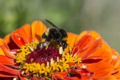 Una bebumble-abeja que extrae el néctar Fotografía de archivo libre de regalías
