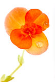 Una begonia amarilla, aislada en blanco, con el Dr. del agua Fotografía de archivo