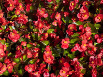 Una begonia di fioritura Immagine Stock Libera da Diritti