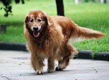 Una bella camminata del cane fotografie stock