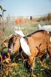 Una bella capra angla-Nubian mangia le foglie verdi in un prato immagini stock