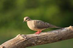 Una bella colomba immagine stock