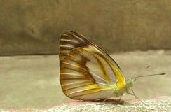 Una bella farfalla Immagini Stock
