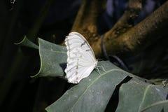 Una bella farfalla bianca Immagine Stock Libera da Diritti
