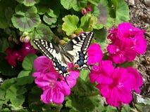 Una bella farfalla, colpo nel giardino di Beirut Immagini Stock Libere da Diritti