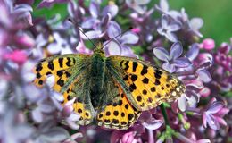 Una bella farfalla luminosa su un lillà sbocciante Primo piano di fioritura dei lillà Alta fritillaria marrone della farfalla Fotografia Stock Libera da Diritti