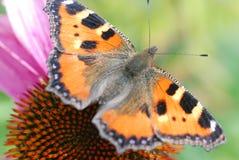 Una bella farfalla olandese Immagine Stock
