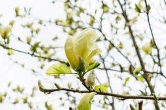 Una bella fine sulla vista di un fiore giallo della magnolia come estende per incontrare il sole di mattina Repubblica ceca Immagine Stock