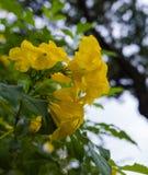 Una bella foto del Trumpetbush giallo delicato, AKA del tecoma Stans Fotografia Stock