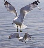 Una bella foto di due gabbiani volanti Fotografia Stock