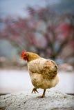 Una bella gallina Immagini Stock