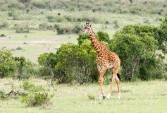 Una bella giraffa alta Fotografia Stock