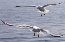Una bella immagine di due gabbiani volanti Immagini Stock