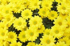 Una bella immagine gialla di macro del fiore Immagine Stock