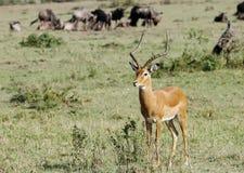 Una bella impala vicino ad un cespuglio Fotografia Stock Libera da Diritti