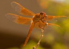 Una bella libellula arancio sorride per la macchina fotografica Fotografia Stock Libera da Diritti