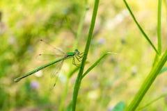 Una bella libellula del verde-bronzo si siede su una lama di erba Primo piano dell'insetto di volo della foto Fotografie Stock Libere da Diritti